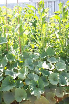 Untitled document for Que es la asociacion de cultivos